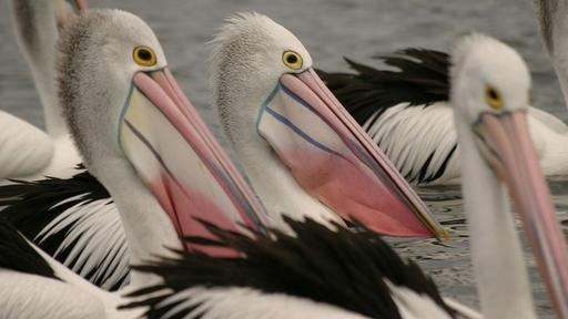 Outback Pelicans Video Thumbnail