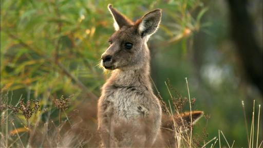 Kangaroo Mob Video Thumbnail