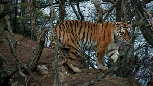 Siberian Tiger Quest Video Thumbnail