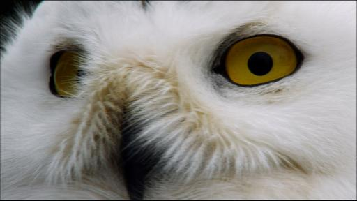 Magic of the Snowy Owl Video Thumbnail