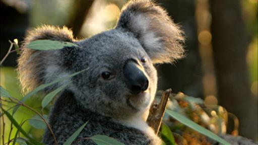 Cracking the Koala Code Video Thumbnail