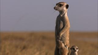 Posturing Meerkat Pups