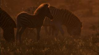 The Zebra of Botswana's Saltpans